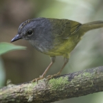 Grey-throated Warbler