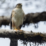 Plain-breasted Hawk