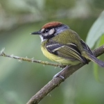 Rufous-crowned Tody-Flycatcher