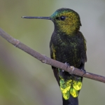 Black-thighed Puffleg
