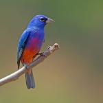 Rose-bellied Bunting