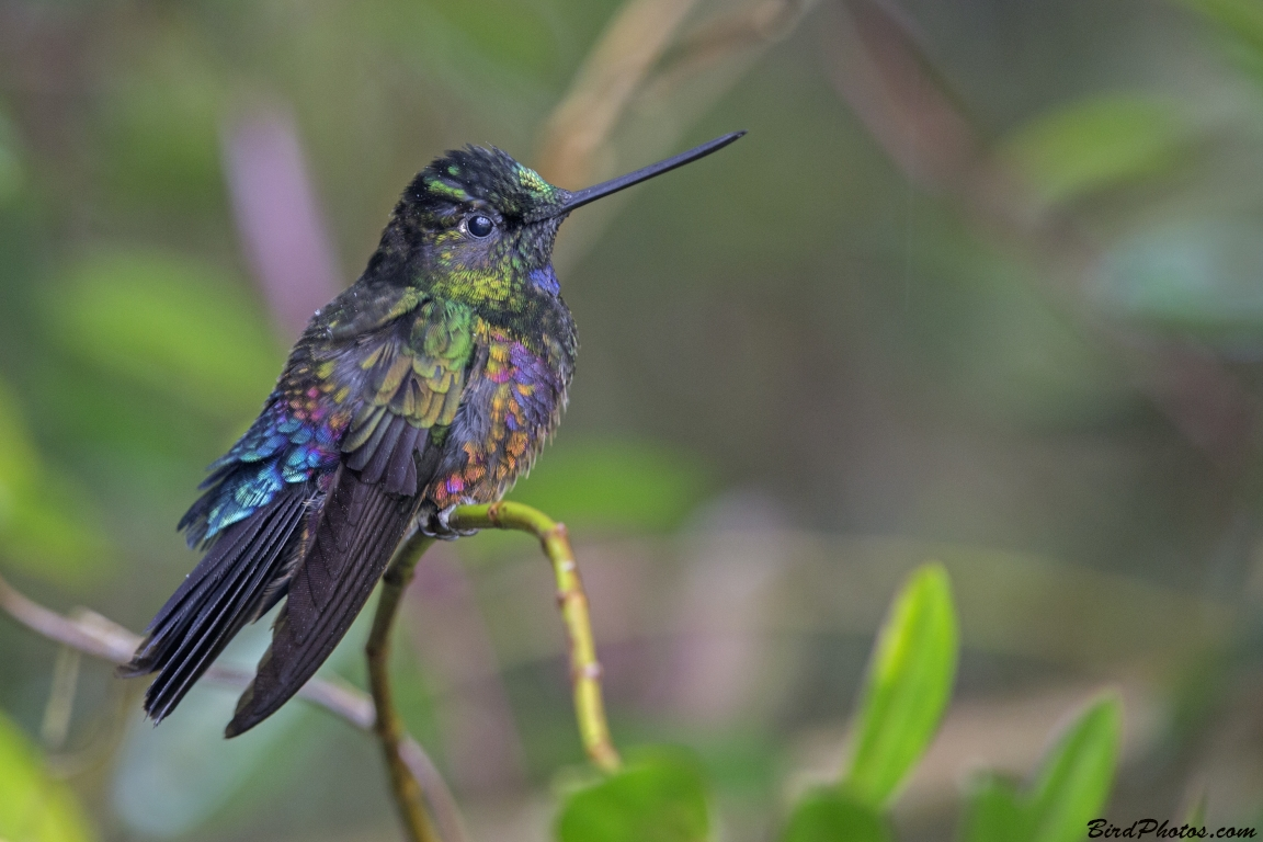 Blue-throated Starfrontlet