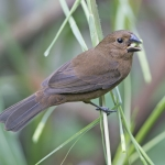 Chestnut-bellied Seed Finch