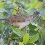 Speckled Chachalaca