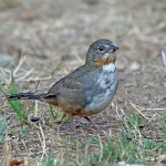 White-throated Towhee