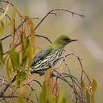Olive-backed Oriole