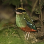 Green-breasted Pitta