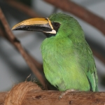 Black-throated Toucanet