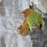 Rusty-faced Parrot