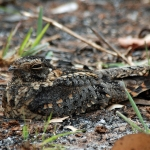 Pennant-winged Nightjar