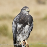 Black-chested Buzzard-Eagle