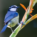 African Blue Tit