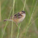 Black-backed Cisticola