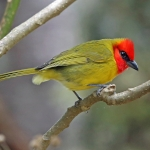 Red-headed Tanager