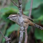 Spotted Wren