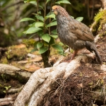 Buffy-crowned Wood Partridge