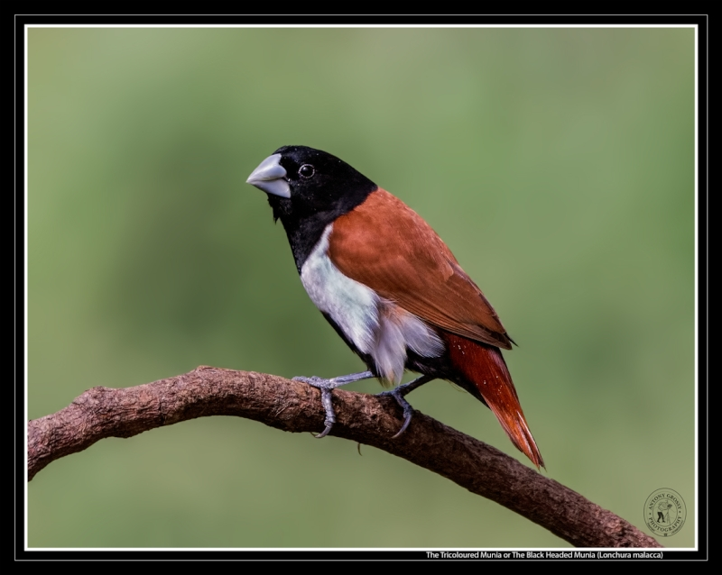 Tricolored Munia