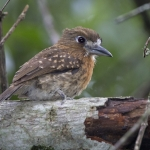 Moustached Puffbird