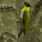 Black-headed Woodpecker
