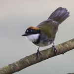 Chestnut-capped Brushfinch