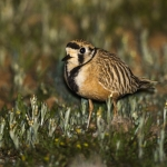 Inland Dotterel