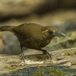 Spot-breasted Laughingthrush