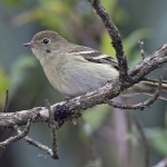 Mountain Elaenia