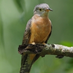 Rusty-breasted Cuckoo