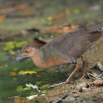 Band-bellied Crake