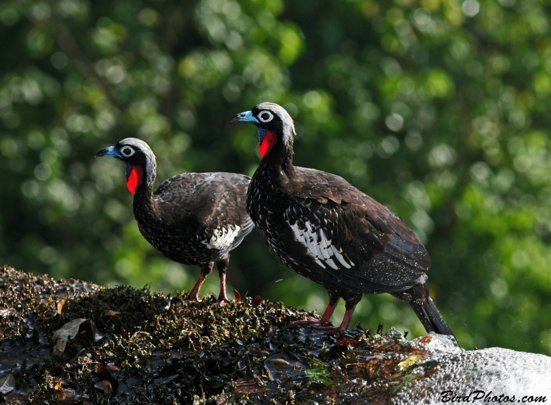 Black-fronted Piping Guan
