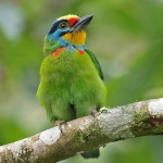 Black-browed Barbet
