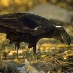 Thick-billed Raven