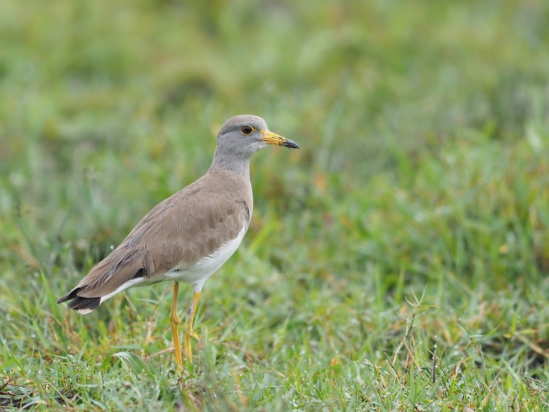 Grey-headed Lapwing