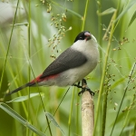 Black-crowned Waxbill