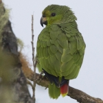 Scaly-naped Amazon