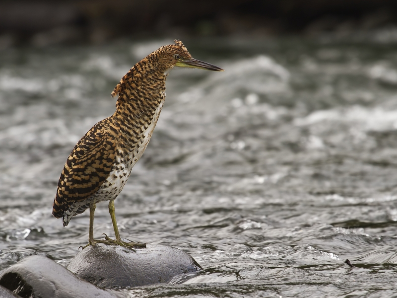 Fasciated Tiger Heron