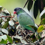 Red-billed Parrot