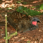 Rusty-margined Guan