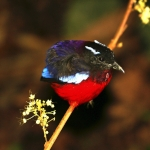 Black-crowned Pitta