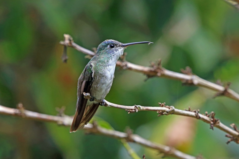 Azure-crowned Hummingbird