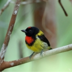 Scarlet-breasted Flowerpecker