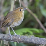 Brown-banded Antpitta