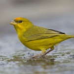 Orange-fronted Yellow Finch