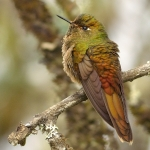 Bronze-tailed Thornbill