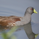 Spot-flanked Gallinule