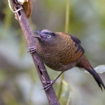 Blue-winged Laughingthrush