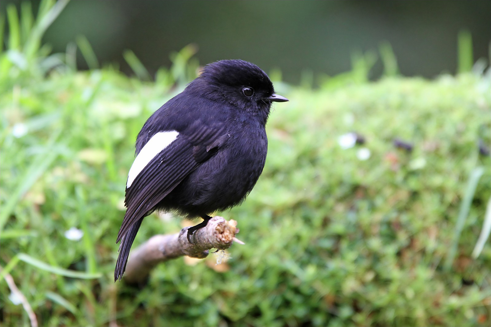 White-winged Robin