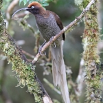 Brown Sicklebill