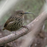 Long-billed Wren-Babbler
