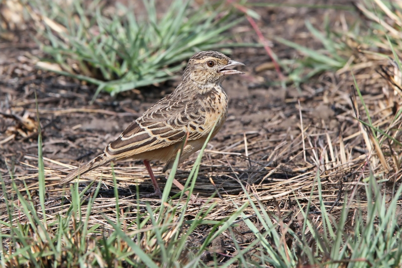 White-tailed Lark